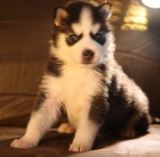 Siberian Husky intelligent,  well mannered Puppies