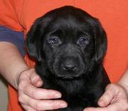 Labrador Retriever Stunning black male and Yellow Female