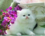Lovely Persian Kittens For Sale