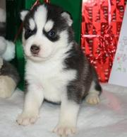 Healthy Siberian Husky Puppies Ready For Sale