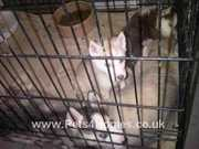 SYLVIA SIBERIAN HUSKY PUPPIES FOR SALE READY TO GO