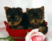 I have Lovely Tea Cup Yorkie Babies Ready For their new homes, (tracymo