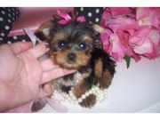 Teacup Yorkshire Terrier Puppies Available and ready for Adoption